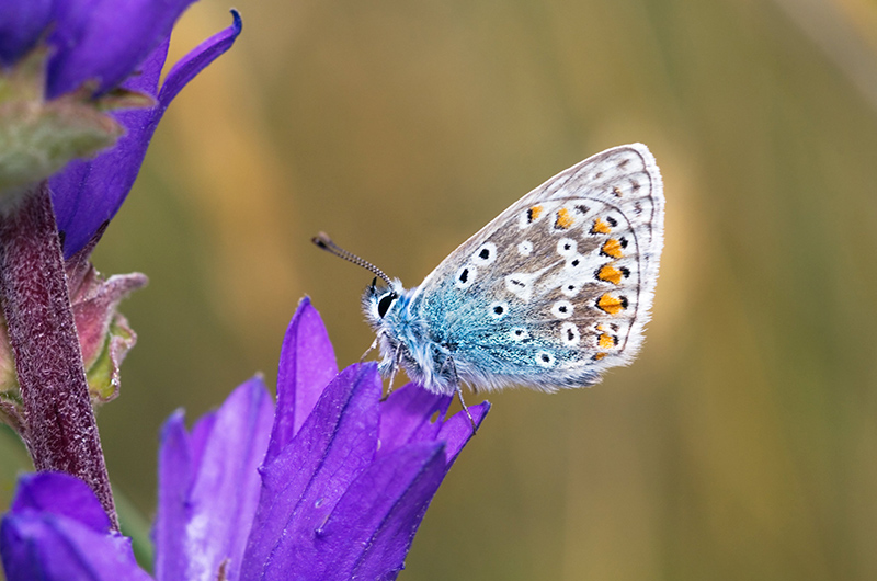 A Common Blue butterfly (Polyommatus icarus) resting on a Clustered Bellflower at St Cyrus NNR ©Lorne Gill/SNH