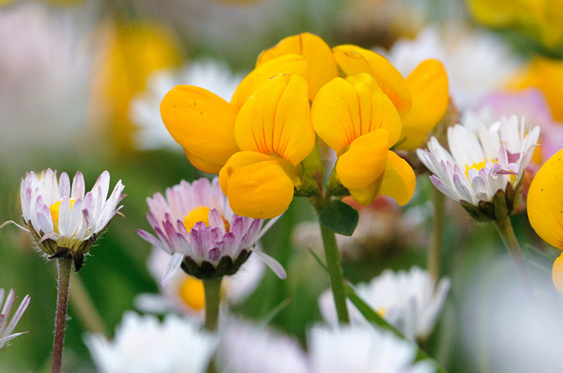 Daisies and birds-foot trefoil ©Lorne Gill/NatureScot
