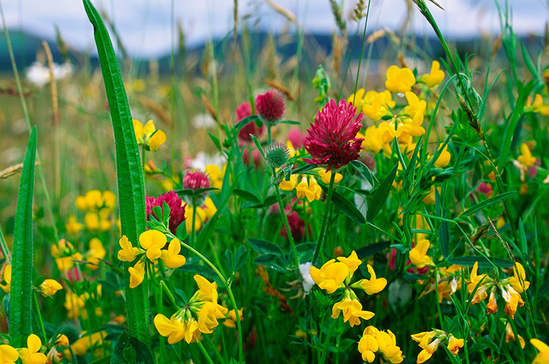 Birds foot trefoil and red clover in a wildflower meadow © Lorne Gill/SNH