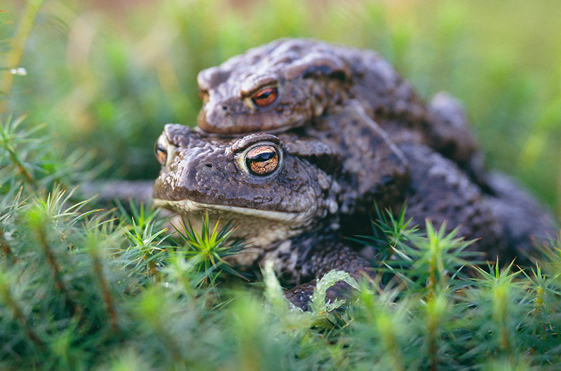 Common Toads ©Lorne Gill
