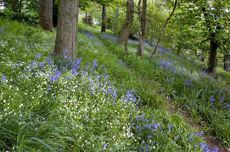 Bluebell carpet and footpath © Lorne Gill/SNH