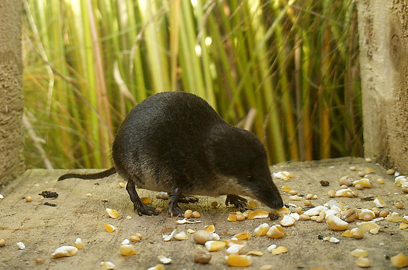 Picture of a water shrew eating some bird seed captured by a small mammal camera trap.
