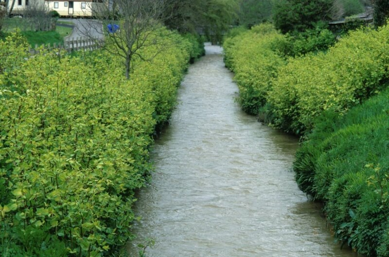 Picture of Japanese Knotweed crowding out native vegetation on a riverbank.