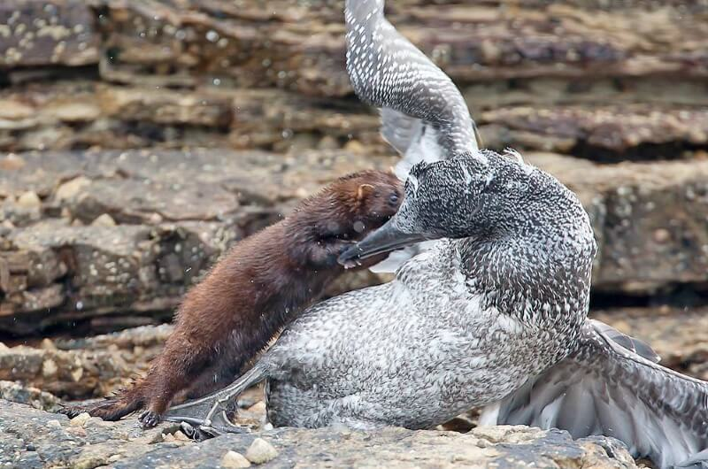 Picture showing an Mink attacking a juvenile Gannet on a sea shore.