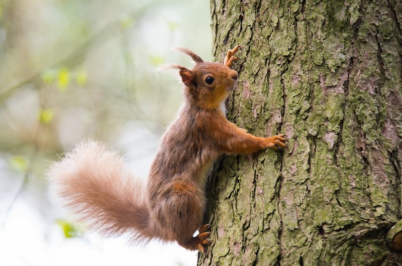 Photo of a red squirrel climbing the trunk of a Scots Pine