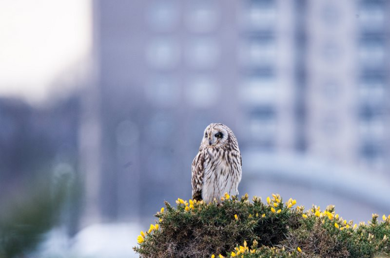 Picture of a short eared owl resting on gorse bush, with a high rise block of flats in the background.