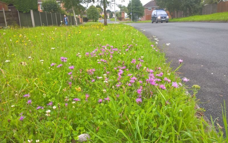 A photo of a biodiverse road verge with a variety or low-growing wildflowers