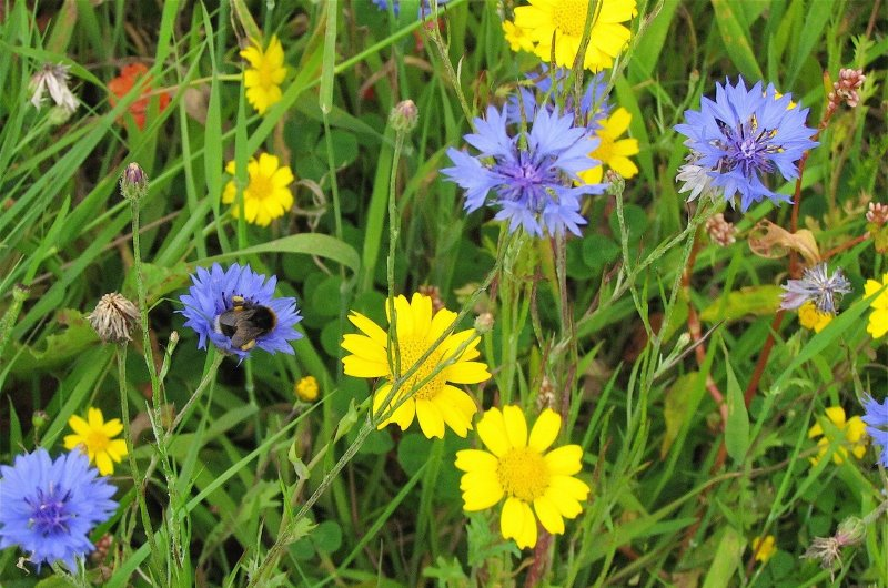 Picture of wildflowers in bloom at East Tullos Burn with a bumblebee