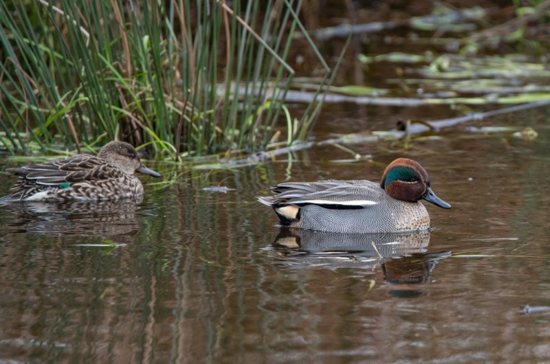 Picture of male and female Teal ducks on the Seaton Wetland