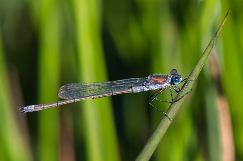 Picture of an Emerald Damselfly up close